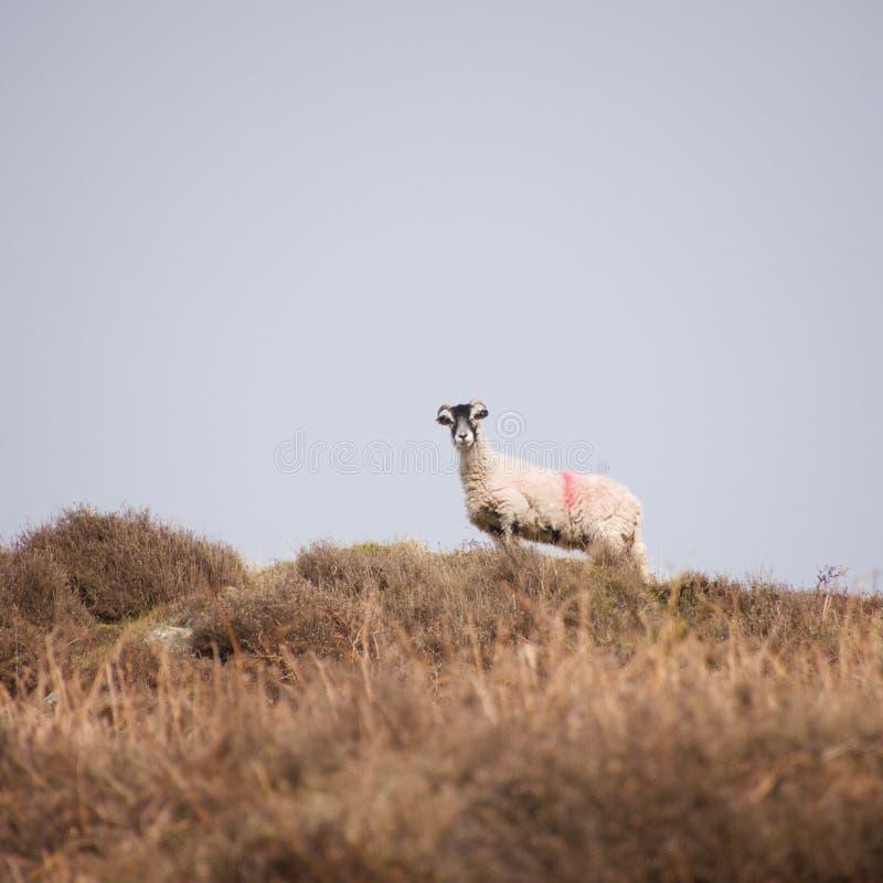 Τα πρόβατα δένουν ενάντια στον ορίζοντα στοκ φωτογραφία με δικαίωμα ελεύθερης χρήσης