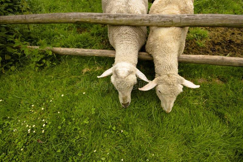 Τα πρόβατα είναι πεινασμένα στοκ φωτογραφία