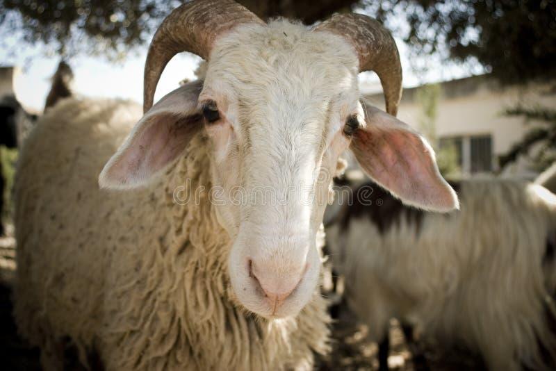 τα πρόβατα κοιτάζουν επίμ&omicr στοκ εικόνες με δικαίωμα ελεύθερης χρήσης
