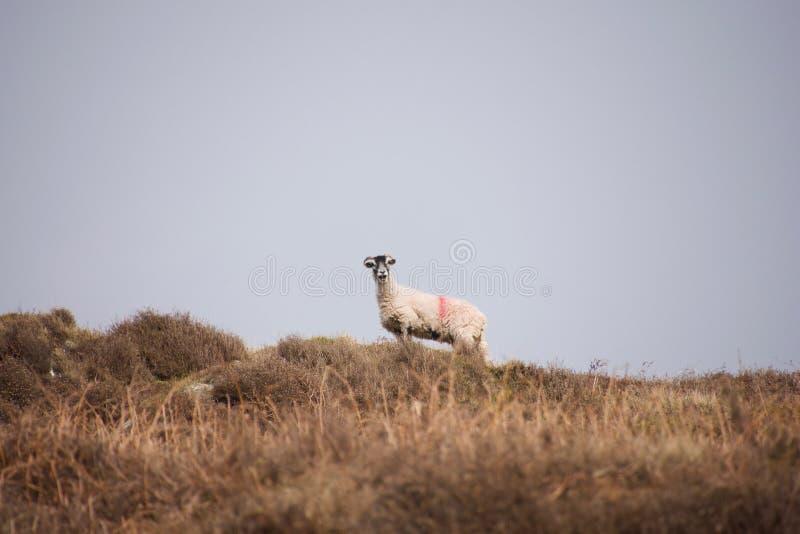 Τα πρόβατα που δένουν ενάντια στον ορίζοντα στοκ φωτογραφίες με δικαίωμα ελεύθερης χρήσης