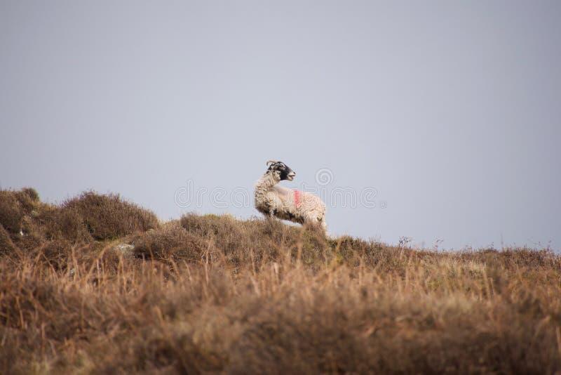 Τα πρόβατα που δένουν ενάντια στον ορίζοντα στοκ φωτογραφία με δικαίωμα ελεύθερης χρήσης