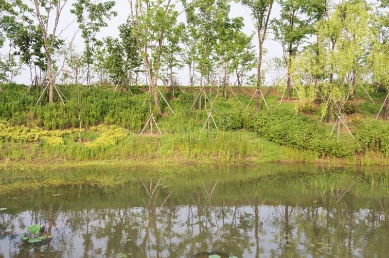 Τα πρόσφατα φυτευμένα δέντρα γύρω από μια λίμνη ενισχύονται με την υποστήριξη στοκ εικόνες