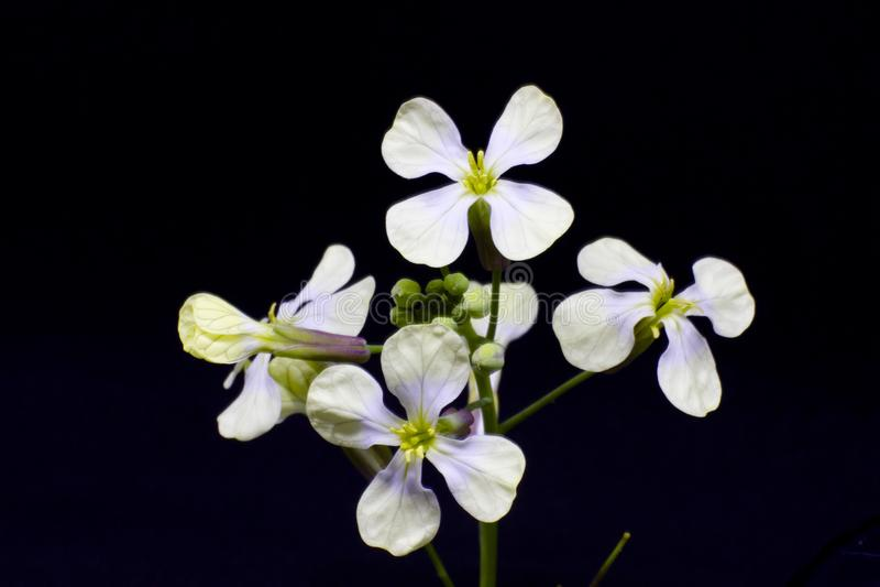 Τα πρώτα άσπρα λουλούδια άνοιξη σε έναν πράσινο μίσχο με τους οφθαλμούς isola στοκ εικόνες