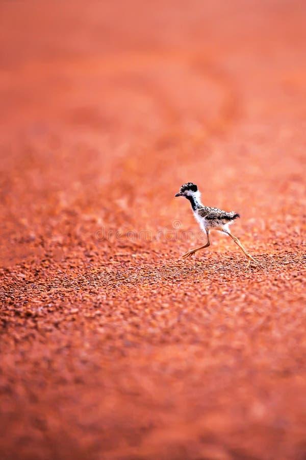 Τα πρώτα βήματα ενός μικρού πουλιού στις άγρια περιοχές, ένα πορτρέτο κόκκινος-ο νεοσσός αργυροπουλιών που λαμβάνει τα πρώτα μέτρ στοκ φωτογραφία με δικαίωμα ελεύθερης χρήσης