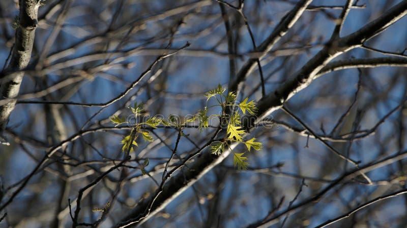 Τα πρώτα πράσινα φύλλα της κόκκινης βαλανιδιάς στοκ εικόνες με δικαίωμα ελεύθερης χρήσης