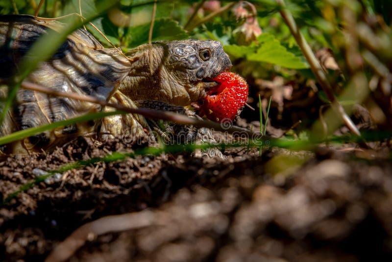 Τα ρωσικά η κατανάλωση της φράουλας στοκ εικόνα