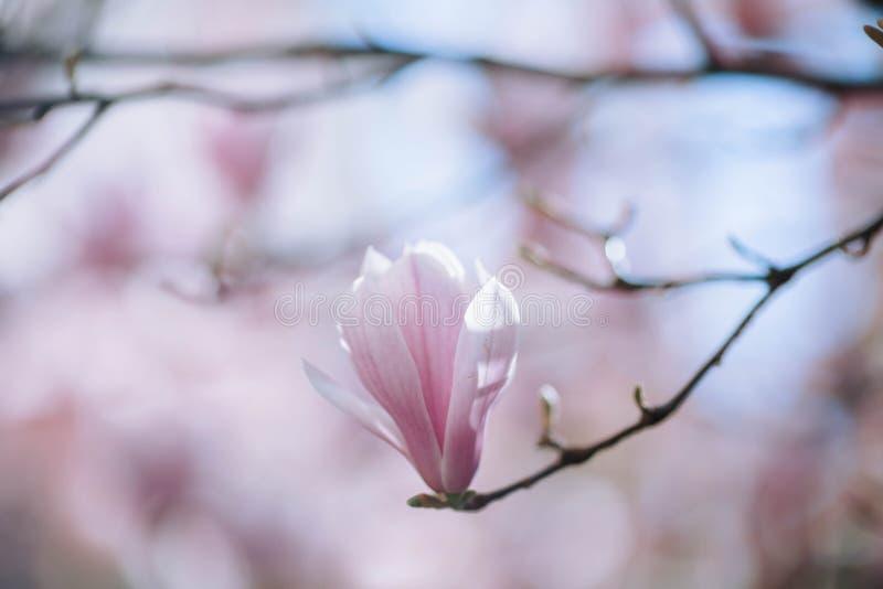 Τα ρόδινα λουλούδια δέντρων ανθών Magnolia, κλείνουν επάνω τον κλάδο, υπαίθριο στοκ εικόνα