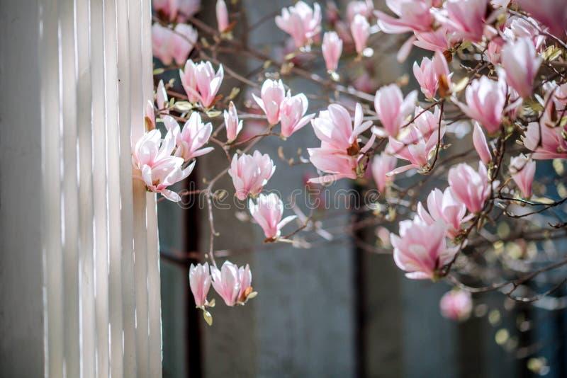 Τα ρόδινα λουλούδια δέντρων ανθών Magnolia, κλείνουν επάνω τον κλάδο, υπαίθριο στοκ φωτογραφίες με δικαίωμα ελεύθερης χρήσης