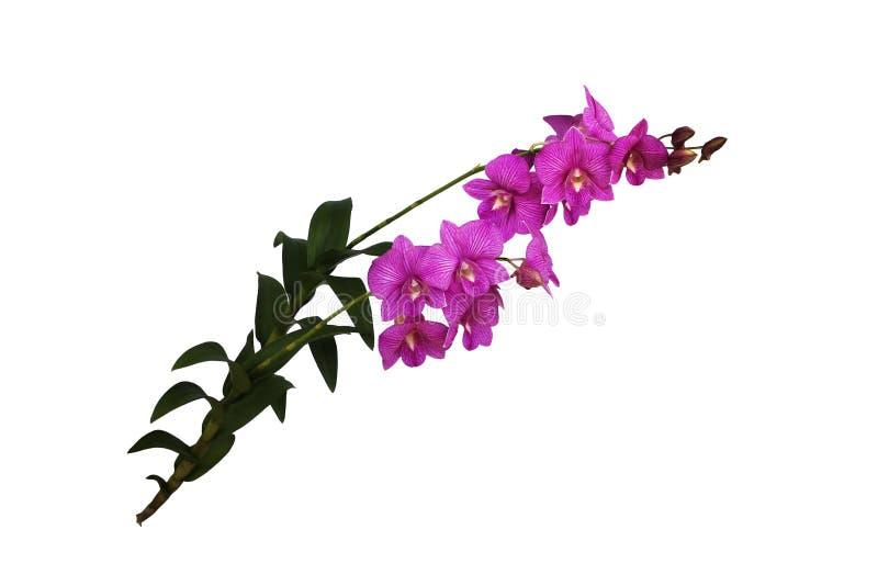 Τα ρόδινα λουλούδια ορχιδεών στοκ φωτογραφία με δικαίωμα ελεύθερης χρήσης