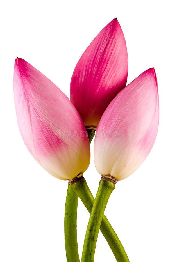 Τα ρόδινα λουλούδια nucifera Nelumbo, κλείνουν επάνω, απομονωμένο, άσπρο υπόβαθρο στοκ φωτογραφίες με δικαίωμα ελεύθερης χρήσης