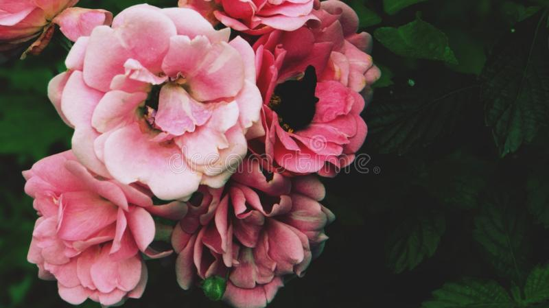Τα ρόδινα τριαντάφυλλα και beatle πράσινος βγάζουν φύλλα στοκ εικόνα