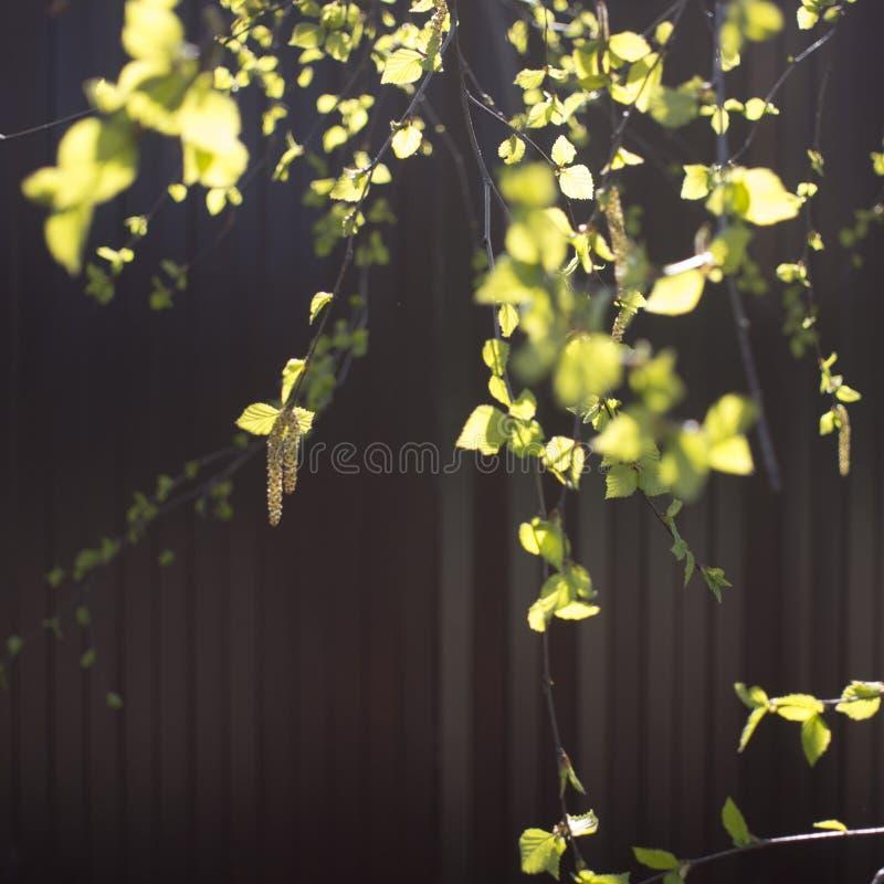 Τα σκουλαρίκια Yung και liaves στη σημύδα διακλαδίζονται, φωτογραφία κινηματογραφήσεων σε πρώτο πλάνο το φθινόπωρο σε ένα κόκκινο στοκ εικόνες