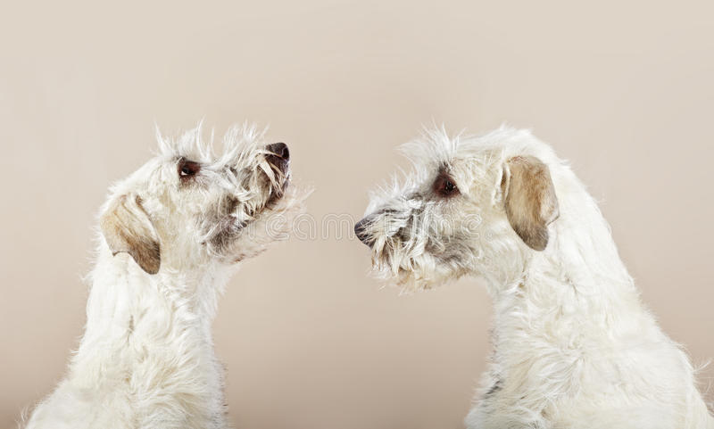 τα σκυλιά διπλασιάζοντα& στοκ φωτογραφίες