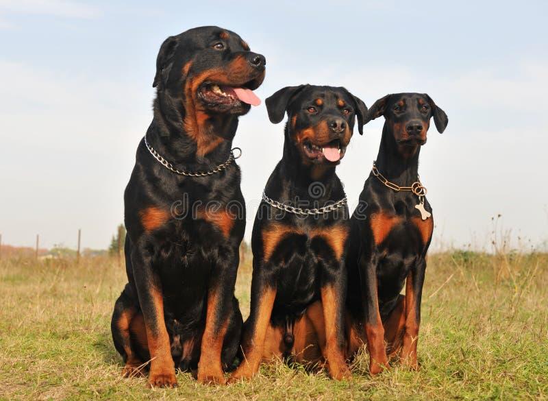 τα σκυλιά φρουρούν τρία στοκ φωτογραφίες