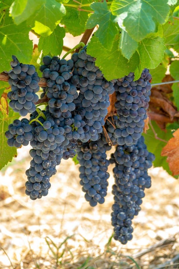 Τα σταφύλια κόκκινου κρασιού φυτεύουν, νέα συγκομιδή του μαύρου σταφυλιού κρασιού στην ηλιόλουστη ημέρα στοκ φωτογραφία