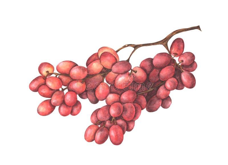 τα σταφύλια ψαλιδίσματος δεσμών ανασκόπησης περιέλαβαν το απομονωμένο κόκκινο λευκό μονοπατιών watercolor απεικόνιση αποθεμάτων
