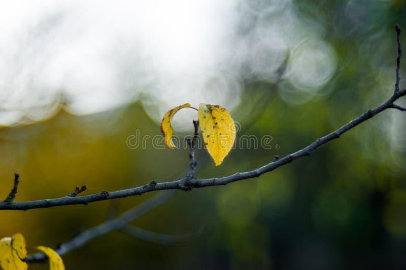 Τα τελευταία φύλλα που κρεμούν από το δέντρο διακλαδίζονται πρίν αφορούν κατά τη διάρκεια της εποχής φθινοπώρου, κίτρινα χρώματα  στοκ εικόνες