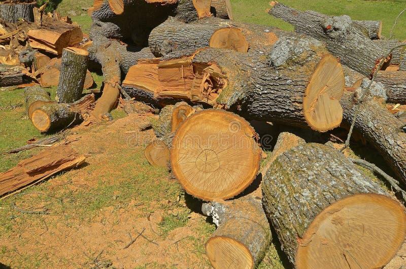 Τα τμήματα ενός ογκώδους το δέντρο πεύκων στοκ φωτογραφία