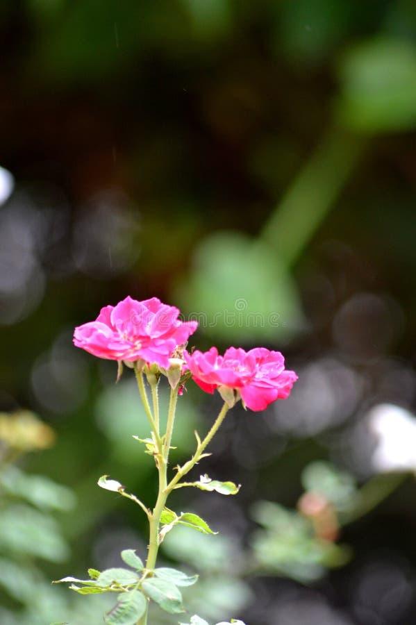 Τα τριαντάφυλλα είναι όμορφα στοκ εικόνες