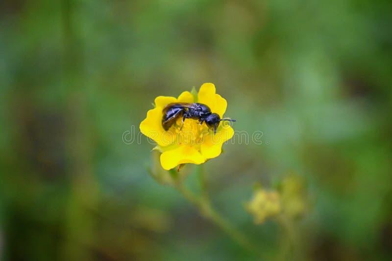 Τα υμενόπτερα μελισσών ξυλουργών του Mason, Apidae στο κίτρινο λουλούδι που συλλέγει τη γύρη και το νέκταρ κατά μήκος των ιχνών π στοκ εικόνα με δικαίωμα ελεύθερης χρήσης