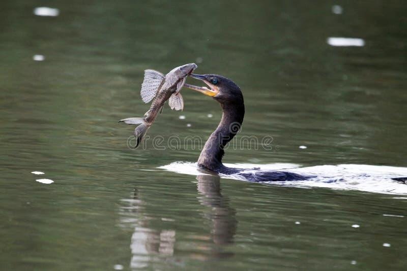 Τα υδρόβια πουλιά (κορμοράνος) κολυμπούν με τα ψάρια στοκ φωτογραφία