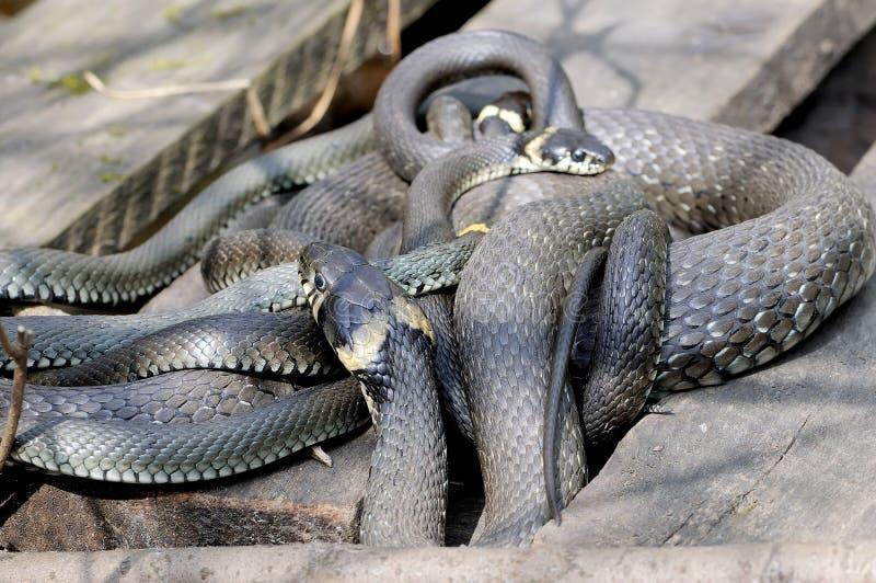 Τα φίδια Natrix Natrix χλόης βρίσκονται ξύλινοι πίνακες στοκ εικόνες