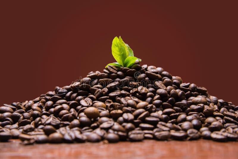 Τα φασόλια καφέ με το πράσινο φύλλο μεγαλώνουν από τον καφέ Foto εικόνας στοκ εικόνα με δικαίωμα ελεύθερης χρήσης