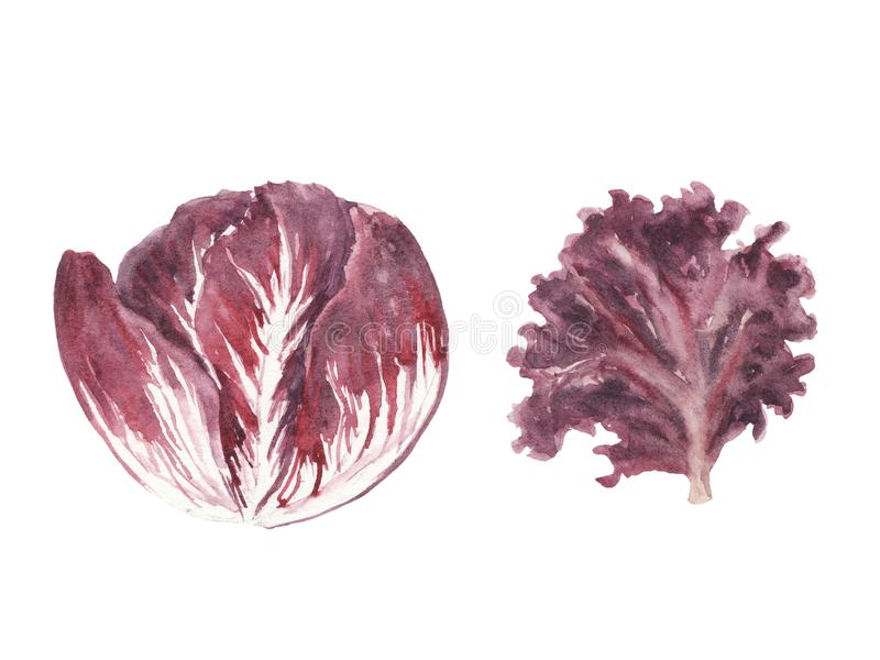 Τα φρέσκα πράσινα απεικόνισης Watercolor θέτουν - φύλλο σαλάτας rossa radiccio και lolo που απομονώνεται ελεύθερη απεικόνιση δικαιώματος