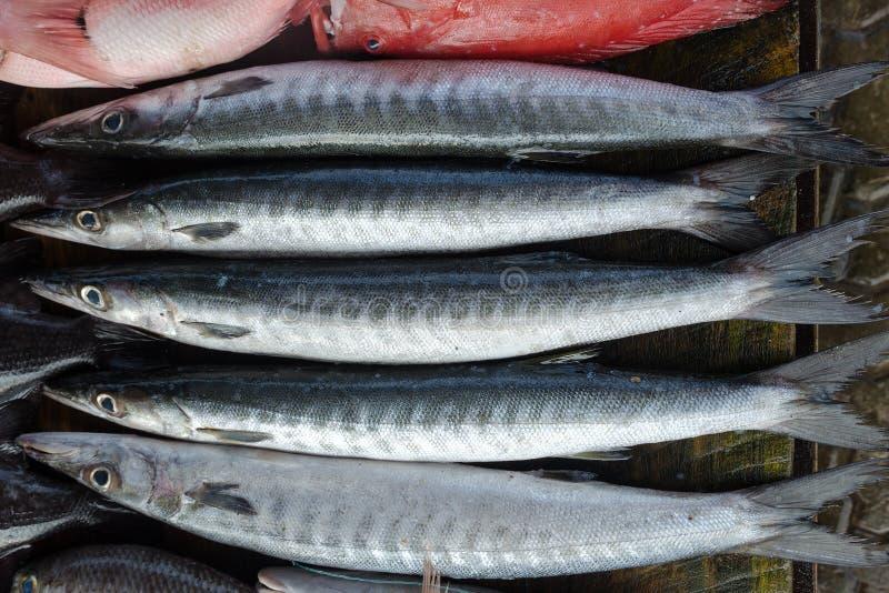 Τα φρέσκα ψάρια αντιμετωπίζουν - Blackfin Barracuda, ή Sphyraena qenie στοκ εικόνες
