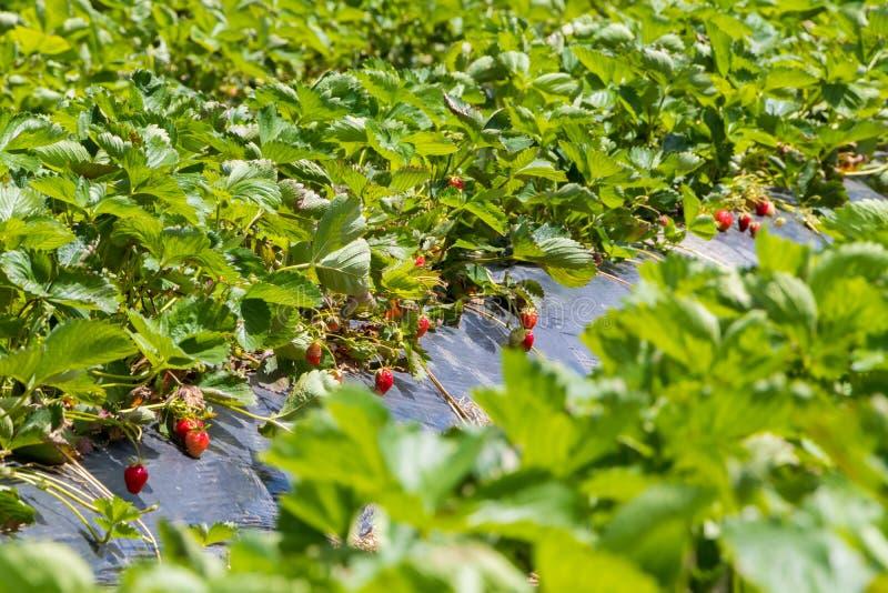Τα φρούτα φραουλών αυξάνονται στη φυτεία, Νόβι Σαντ, Σερβία στοκ φωτογραφίες