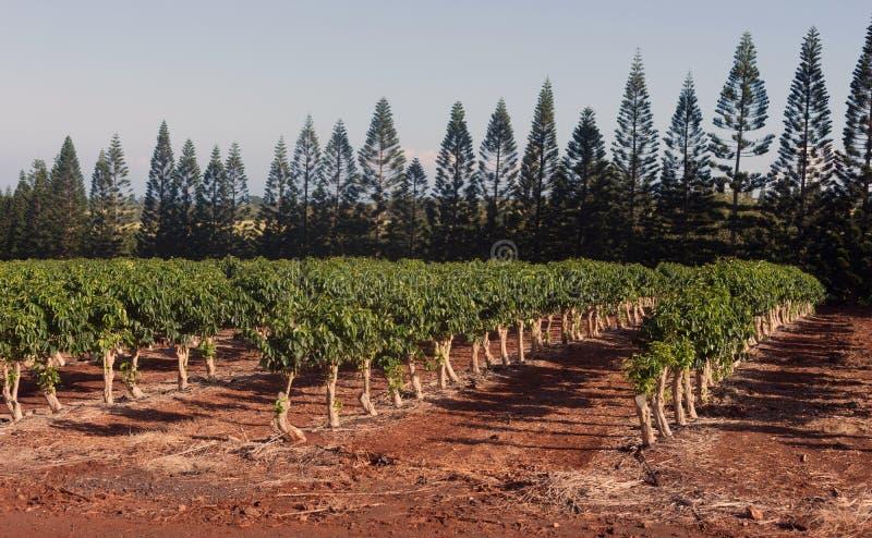 Τα φυτά καφέ αυξάνονται την τροπική φυτεία Agricultur καλλιέργειας νησιών στοκ εικόνες