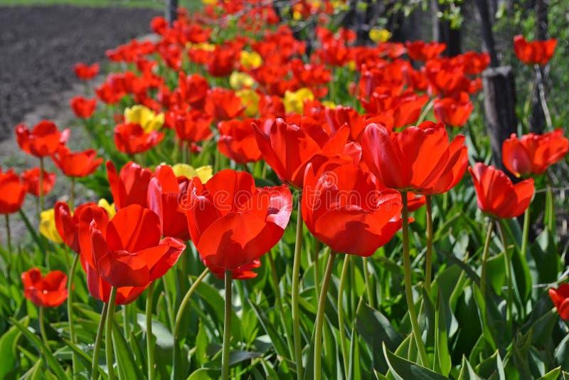 Τα φωτεινά κόκκινα ανθίζοντας λουλούδια τουλιπών αυξάνονται σε μια σειρά στοκ εικόνα