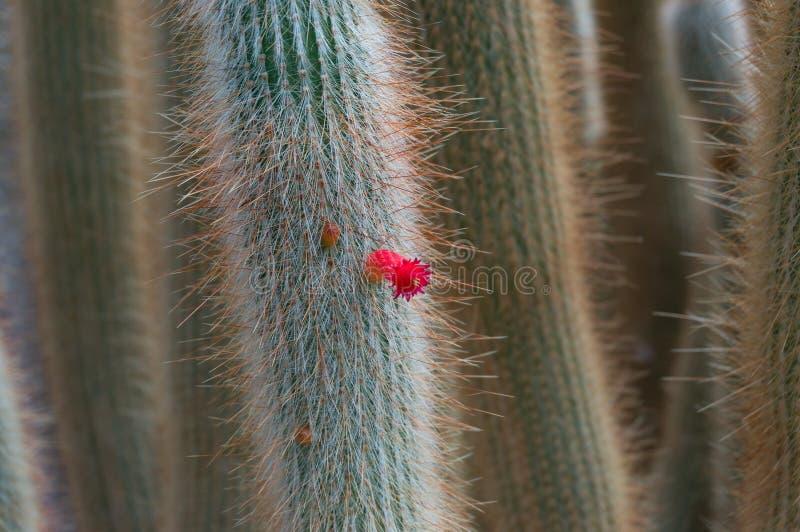 Τα φωτεινά κόκκινα λουλούδια του κάκτου ερήμων κλείνουν επάνω στοκ εικόνες