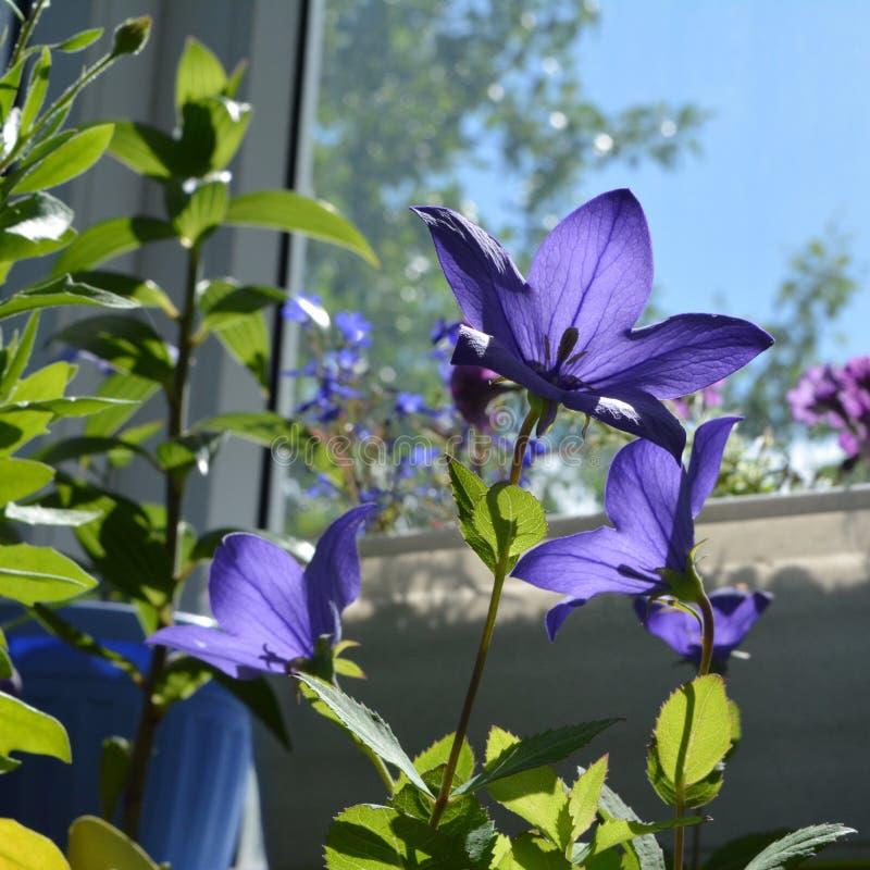 Τα φωτεινά λουλούδια platycodon ανάβουν από τον ήλιο Ανθίζοντας εγκαταστάσεις στοκ φωτογραφία με δικαίωμα ελεύθερης χρήσης