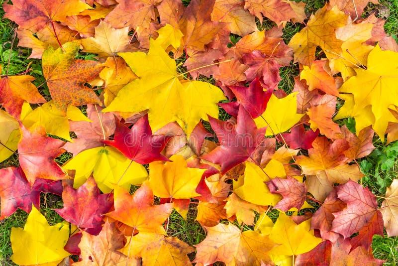 Τα φωτεινοί κιτρινοπράσινα και χαρασμένα κόκκινο φύλλα σφενδάμου βρίσκονται σε μια πράσινη χλόη στοκ εικόνες με δικαίωμα ελεύθερης χρήσης
