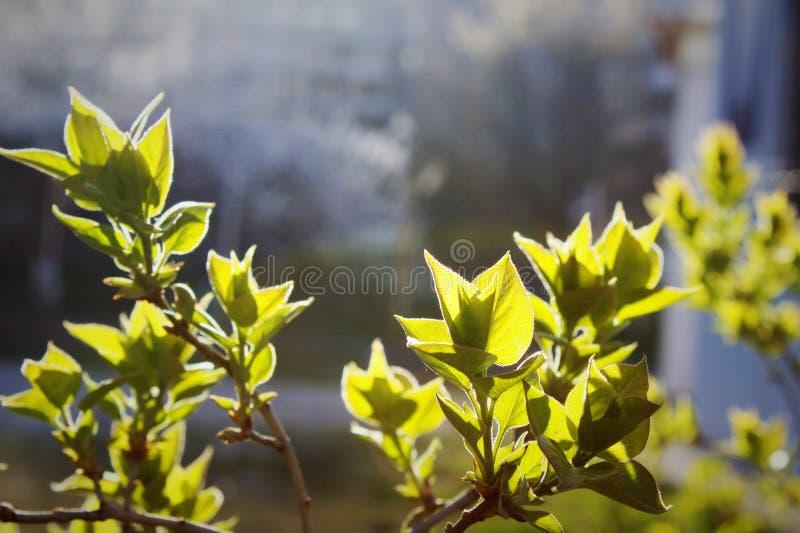 τα φύλλα αναπηδούν τις νε&omic στοκ φωτογραφία