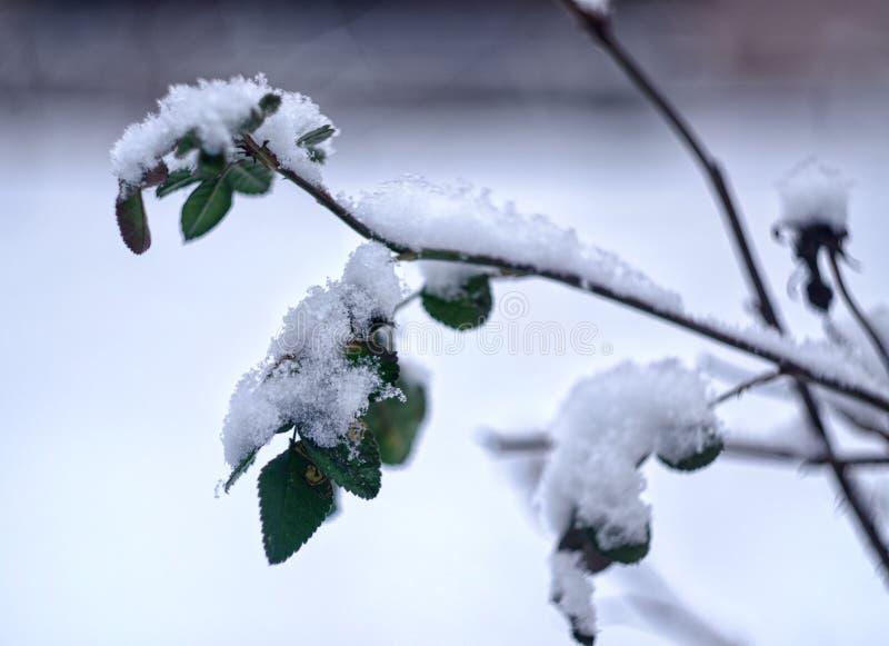 Τα φύλλα αυξήθηκαν κάτω από το χιόνι στοκ εικόνες
