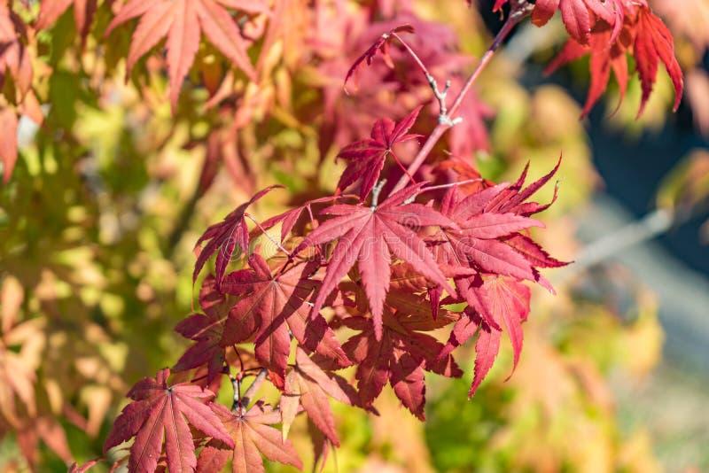 Τα φύλλα σφενδάμου αρχίζουν να αλλάζουν το χρώμα στο κίτρινο και κόκκινο φως ι ημέρας στοκ φωτογραφίες με δικαίωμα ελεύθερης χρήσης