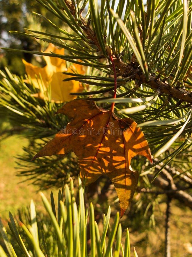 Τα φύλλα του κοντινού δέντρου αφόρησαν τους κλάδους του δέντρου έλατου στοκ φωτογραφία με δικαίωμα ελεύθερης χρήσης