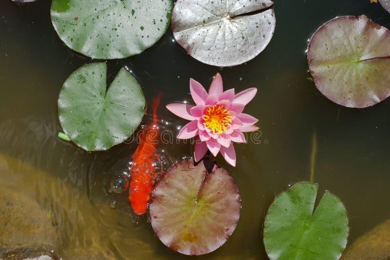Τα φύλλα του κρίνου νερού κολυμπούν στη λίμνη στοκ εικόνα