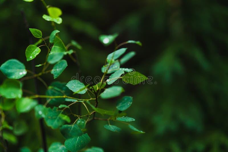 Τα φύλλα το δέντρο που καλύπτεται με μια βροχή μειώνονται ή τη δροσιά πρωινού σε ένα σκοτεινό υπόβαθρο στοκ εικόνες