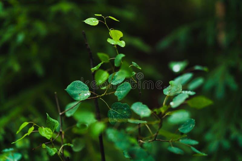 Τα φύλλα το δέντρο που καλύπτεται με μια βροχή μειώνονται ή τη δροσιά πρωινού σε ένα σκοτεινό υπόβαθρο στοκ εικόνες με δικαίωμα ελεύθερης χρήσης