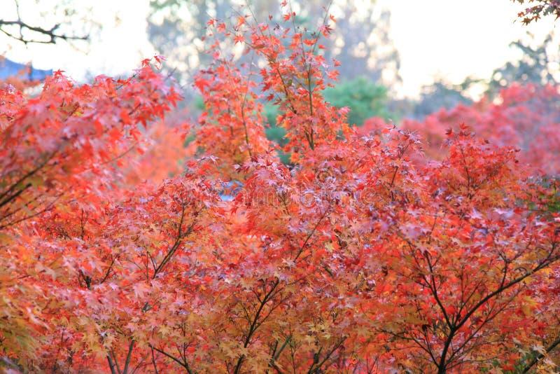 Τα φύλλα χρωματίζουν την αλλαγή στο ναό tofukuji στο Κιότο στην Ιαπωνία στοκ φωτογραφία με δικαίωμα ελεύθερης χρήσης