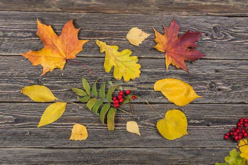 Τα φύλλα, η τέφρα σφενδάμνου και βουνών στοκ εικόνες