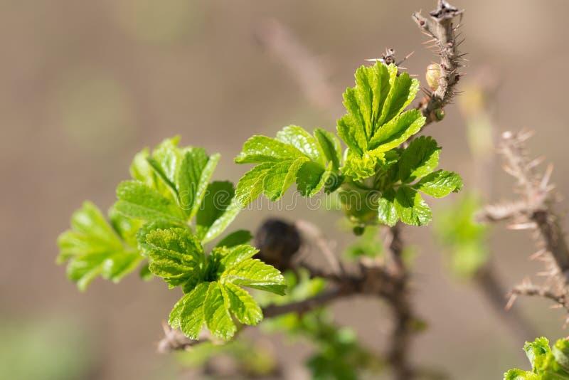 Τα φύλλα των άγρια περιοχών αυξήθηκαν στοκ φωτογραφία με δικαίωμα ελεύθερης χρήσης
