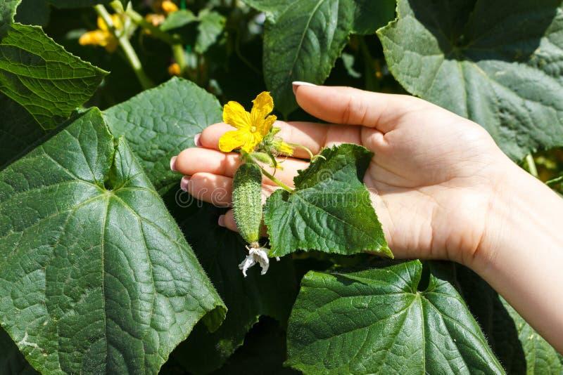 Τα χέρια αγροτών γυναικών ελέγχουν ένα αγγούρι στο οργανικό αγρόκτημα στοκ εικόνα με δικαίωμα ελεύθερης χρήσης