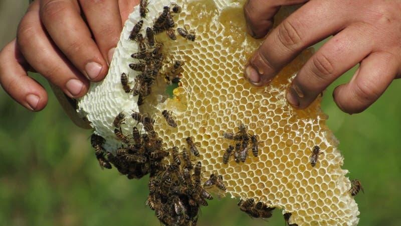 Τα χέρια ενός μελισσοκόμου που φροντίζει για τις μέλισσες στοκ εικόνες