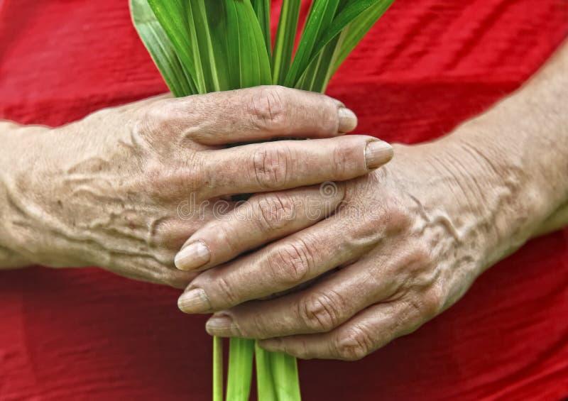 τα χέρια κρατούν το παλαιό φυτό στοκ εικόνες