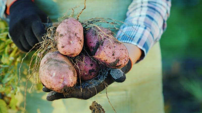 Τα χέρια της Farmer κρατούν τους βολβούς πατατών Οργανικά προϊόντα από το αγρόκτημα στοκ φωτογραφίες