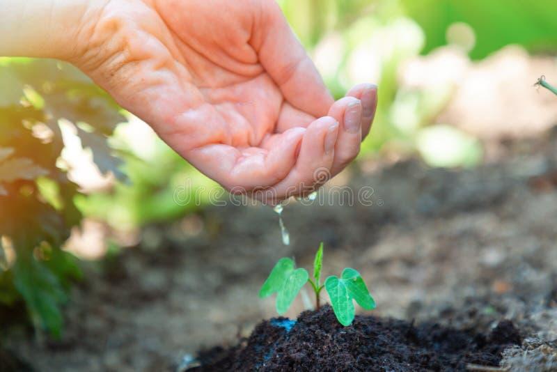 Τα χέρια των γυναικών πότισαν το νέο νεαρό βλαστό στον κήπο Η έννοια της οικολογίας, της κηπουρικής και της γήινης ημέρας στοκ φωτογραφίες με δικαίωμα ελεύθερης χρήσης